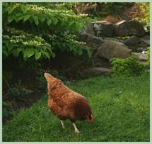 chickengarden