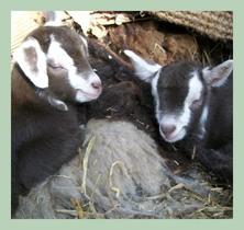 goatsdayold